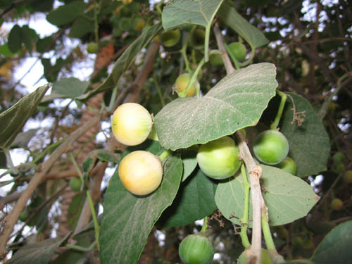 شجرة البمبروفوائدها العلاجية IMG_0376.jpg